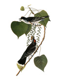Audubon: Kingbird, 1827-38 Art by John James Audubon