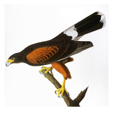 Audubon: Hawk, 1827 Giclee Print by John James Audubon