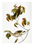 Audubon: Thrush Print by John James Audubon