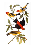 Audubon: Tanager, 1827 Giclee Print by John James Audubon