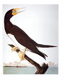 Audubon: Booby Giclee Print by John James Audubon