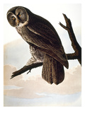 Audubon: Owl Giclee Print by John James Audubon