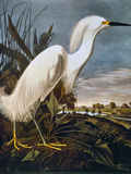 Audubon: Egret Posters by John James Audubon