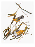 Audubon: Warbler Giclee Print by John James Audubon