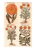 Marigolds. Prints by John Gerard