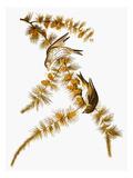 Audubon: Siskin Posters by John James Audubon