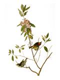 Audubon: Kinglet, 1827 Reproduction giclée Premium par John James Audubon