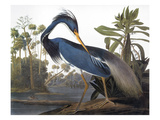 Audubon: Heron, 1827 Art by John James Audubon