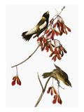 Audubon: Bobolink Reproduction giclée Premium par John James Audubon