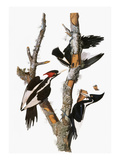 Audubon: Woodpecker Giclee Print by John James Audubon