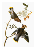Audubon: Waxwing Giclee Print by John James Audubon