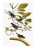 Audubon: Bunting, 1827-38 Giclee Print by John James Audubon