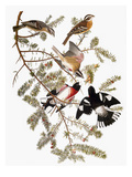 Audubon: Grosbeak Art by John James Audubon