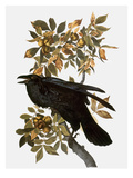 Audubon: Raven Giclee Print by John James Audubon