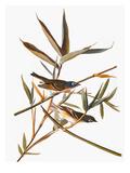 Audubon: Vireo Print by John James Audubon