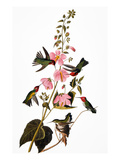 Audubon: Hummingbird Giclee Print by John James Audubon