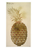 Botany: Pineapple, 1585 Giclee Print by John White