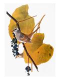 Audubon: Sparrow Reproduction giclée Premium par John James Audubon