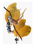 Audubon: Sparrow Giclee Print by John James Audubon