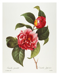 Camellia, 1833 Poster