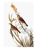 Audubon: Dickcissel Prints by John James Audubon