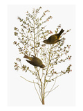 Audubon: Warbler Prints by John James Audubon