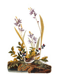 Audubon: Sparrow, 1827-38 Prints by John James Audubon