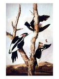 Ivory-Billed Woodpeckers Giclee Print by John James Audubon