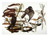 Audubon: Crow Posters by John James Audubon