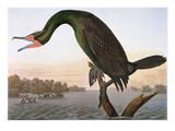 Audubon: Cormorant Giclee Print by John James Audubon