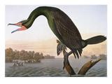 Audubon: Cormorant Print by John James Audubon