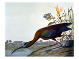 Glossy Ibis Giclee Print by John James Audubon