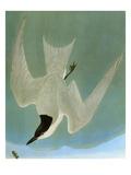 Audubon: Tern Giclee Print by John James Audubon