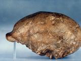 Skull Of Peking Man Photographic Print