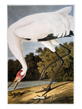 Audubon: Whooping Crane Prints by John James Audubon