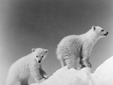 Polar Bear Cubs Photographic Print