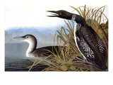 Audubon: Loon, 1827 Giclee Print by John James Audubon