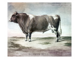 Durham Bull, 1856 Print by August Kollner