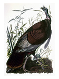 Audubon: Turkey Prints by John James Audubon