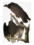 Audubon: Turkey Vulture Giclee Print by John James Audubon