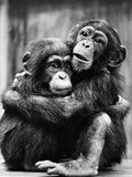 Young Chimpanzees Photographic Print