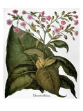 Botany: Tobacco Plant Giclee Print by Besler Basilius
