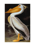 Audubon: Pelican Giclee Print by John James Audubon