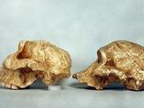 Prehistoric Skulls Photographic Print