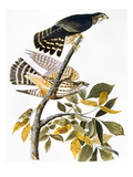 Audubon: Hawk Posters by John James Audubon