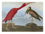 Audubon: Scarlet Ibis Poster by John James Audubon
