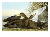 American Black, Or Dusky, Giclee Print by John James Audubon