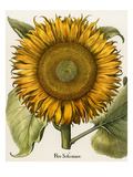 Sunflower Giclee Print by Basilius Besler