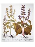 Sage, 1613 Posters by Besler Basilius