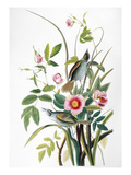 Seaside Sparrow, 1858 Premium Giclee Print by John James Audubon